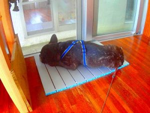ひんやりパットの上で一休み中の看板犬