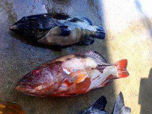 大きいお魚を港で大きさくらべ