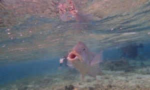 真栄田岬の迫力ある魚をシュノーケリングで